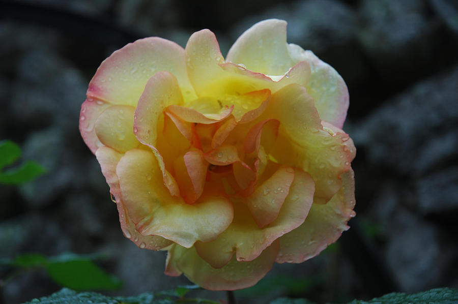 Pink and yellow cloister rose by Jim Barbour