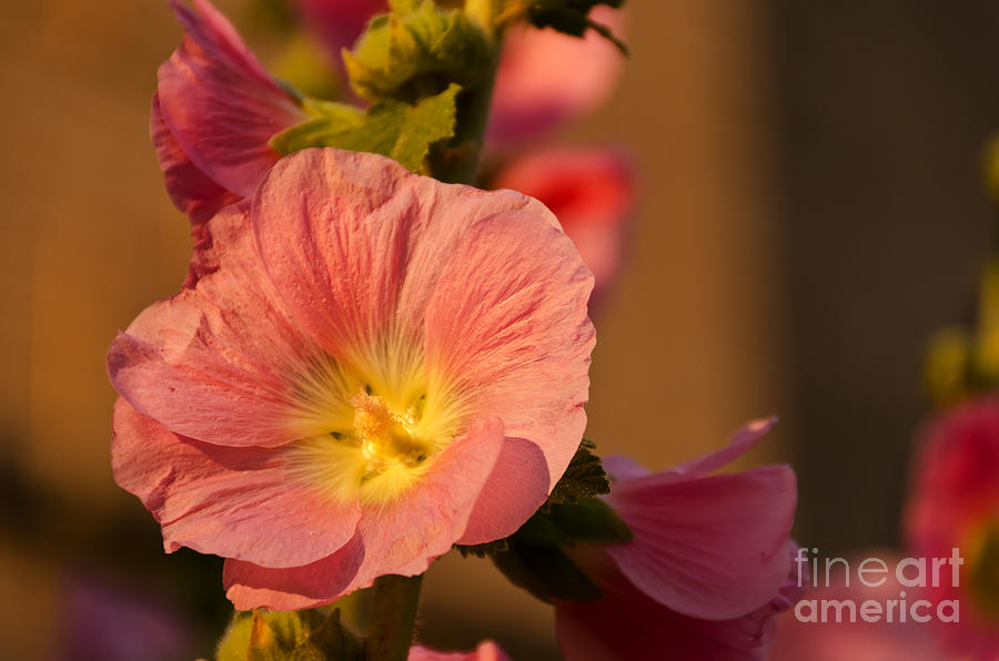 Alcea Photograph - Pink And Yellow Hollyhock by Sue Smith