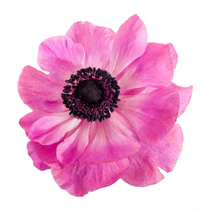 Pink Photograph - Pink anemone flower by Judith Flacke