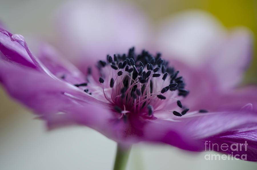 Pink Anemone Photograph - Pink Anemone  by Nicole Markmann Nelson