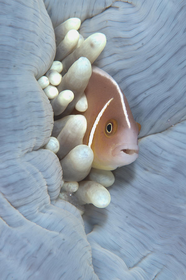 Pink Anemonefish In Magnificent Sea Photograph by Colin Marshall