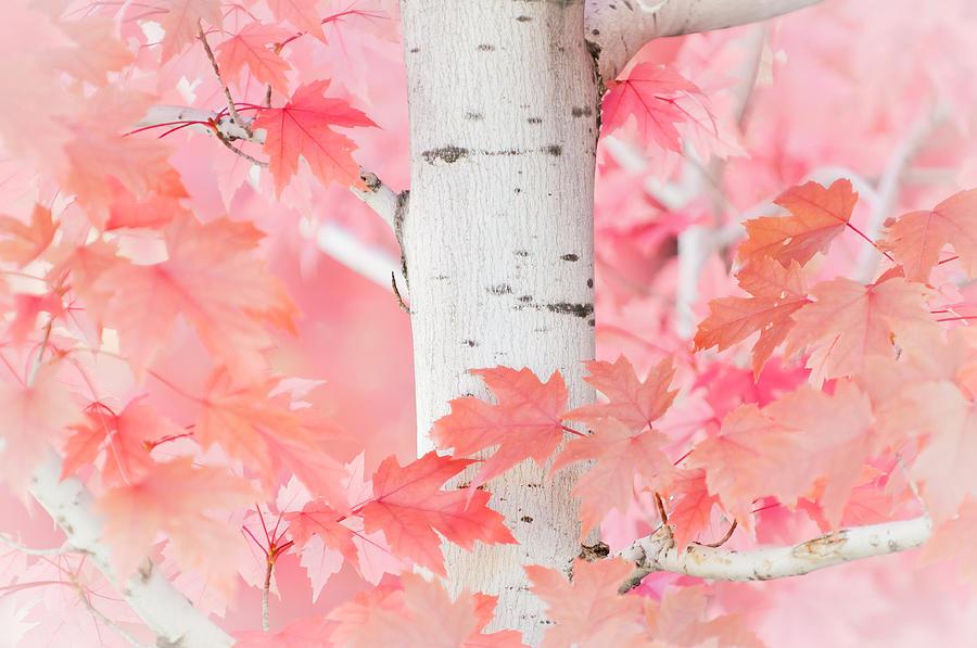 Aspen Photograph - Pink Aspen by Daniel Huerlimann
