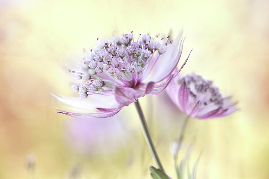 Astrantia Photograph - Pink Astrantia by Mandy Disher