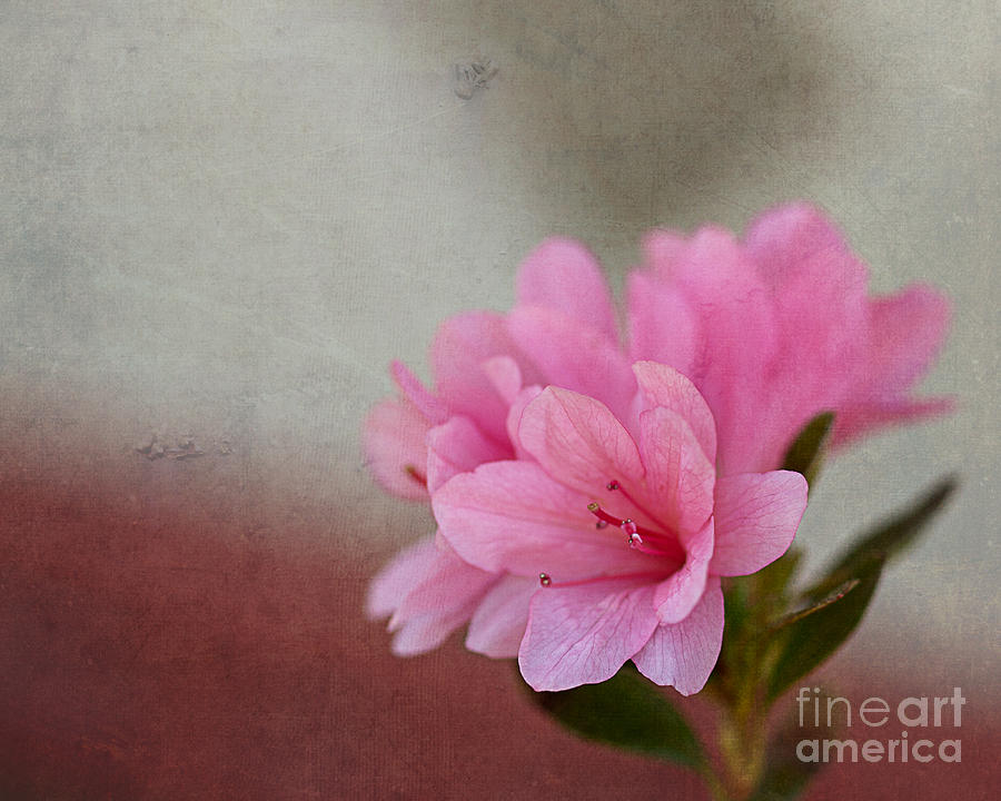 Gardening Photograph - Pink Azalea Textured by Terry Weaver
