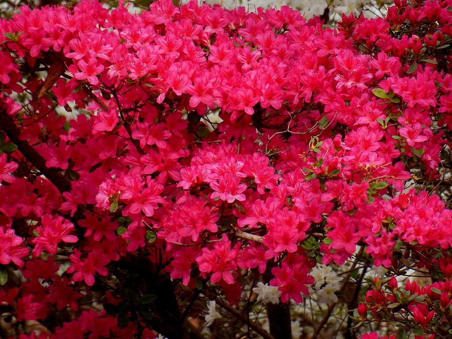 Azaleas Photograph - Pink Azaleas by Virginia Forbes