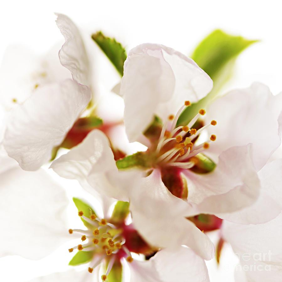 Blossom Photograph - Pink Blossom by Elena Elisseeva