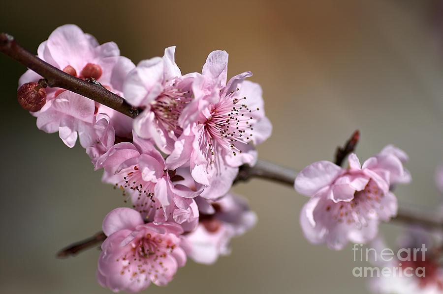 Pink Blossom Photograph - Pink Blossom by Joy Watson