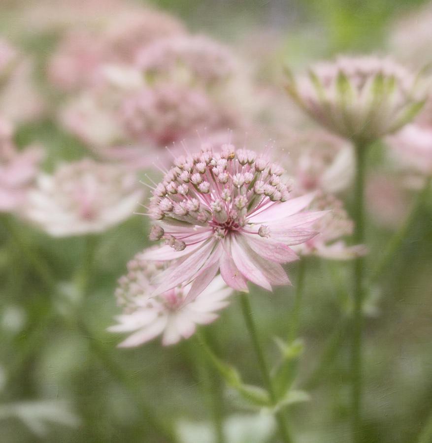 Flower Photograph - Pink Blush by Kim Hojnacki