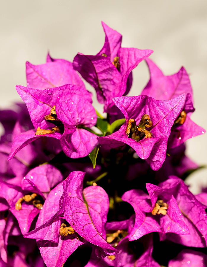 Oahu Photograph - Pink Bougainvillea Classical by Lisa Cortez