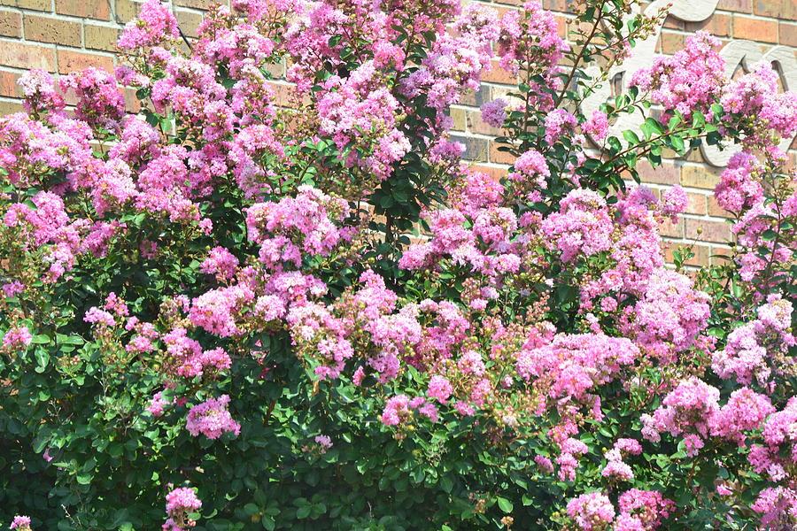 Landscape Photograph - Pink Bush by Kim Stafford
