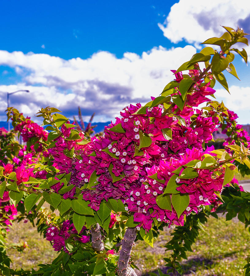 Pink Photograph - Pink Bush by Lisa Cortez