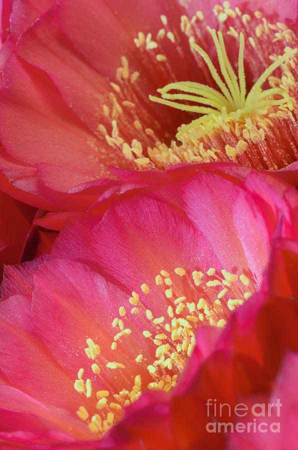 Pink Cactus Flower Bouquet II Photograph by Tamara Becker