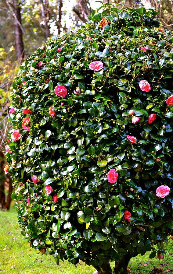 Pink Camellia Bush Photograph by Lehua Pekelo-Stearns
