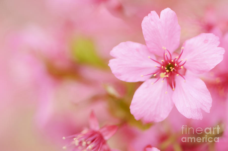 Pink Cherry Blossom Photograph by Oscar Gutierrez
