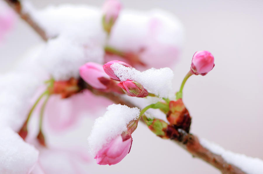 Pink Cherry Blossoms Covered By An Photograph by Ogphoto