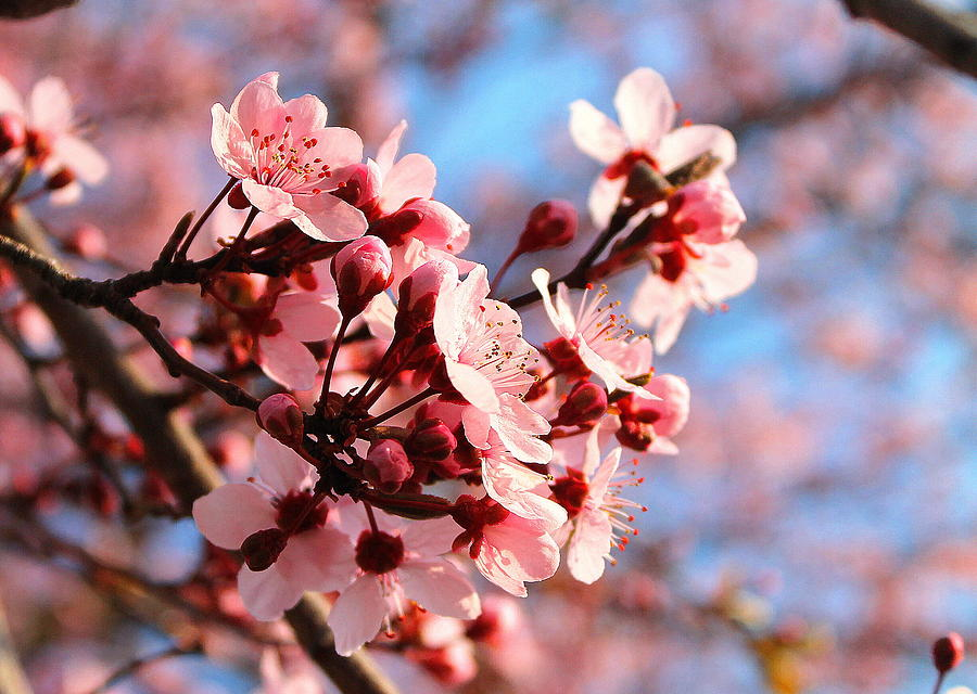 Cherry Blossom Photograph - Pink Cherry Heaven  by Candice Trimble