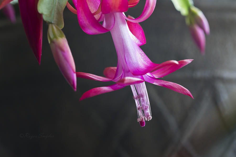 Pink Photograph - Pink Christmas Cactus by Roger Snyder