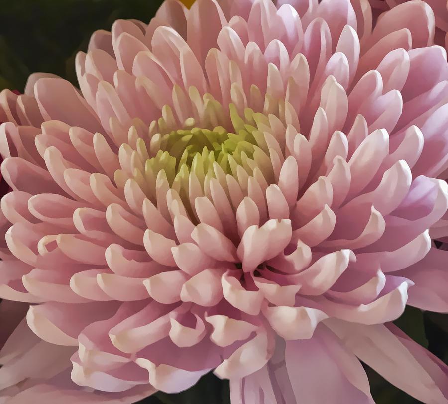 Pink Chrysanthemum Photograph By Lynn Bolt