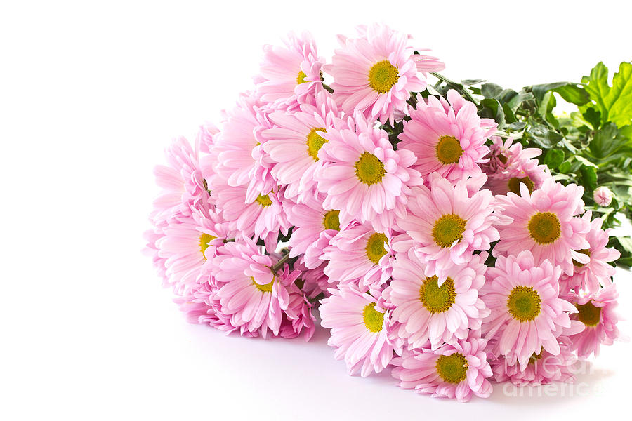 Pink Chrysanthemum Photograph - Pink Chrysanthemum Prints by Boon Mee