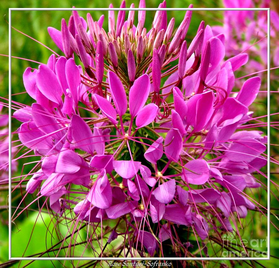 Cleomes Photograph - Pink Cleome Flower by Rose Santuci-Sofranko