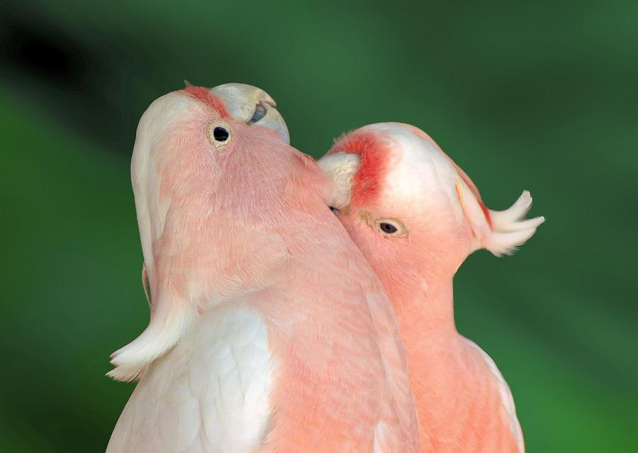 Pink Cockatoo Couple by David Rich