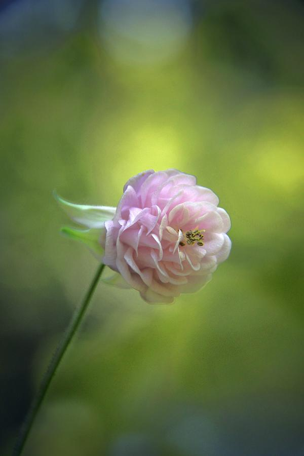 Aquilegia Photograph - Pink Columbine by Andrea Lazar