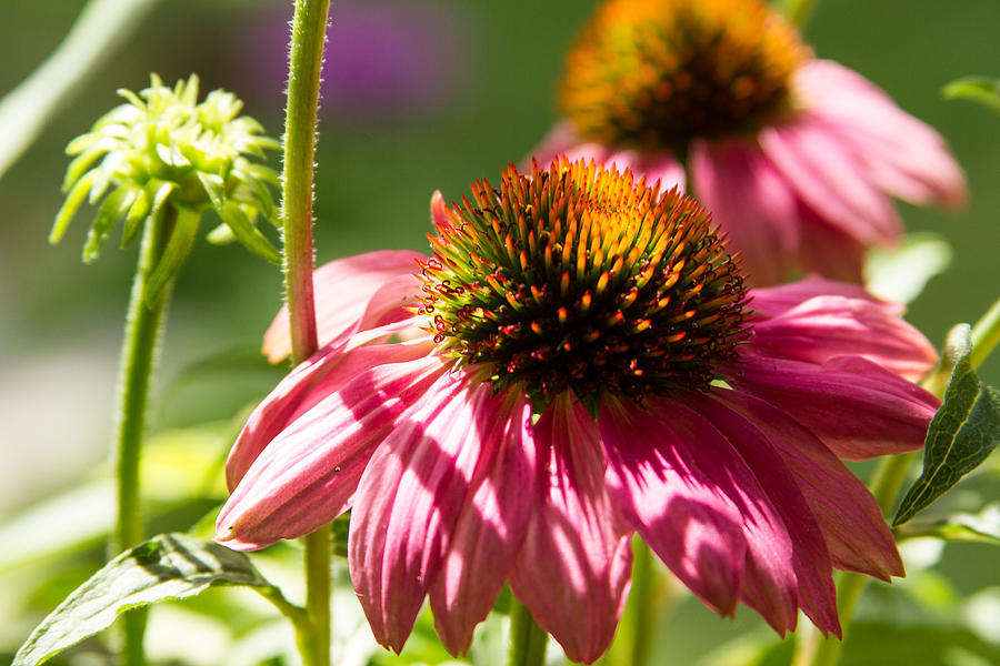 Pink Cone Flower Photograph by Brian Caldwell