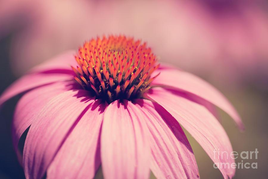 Pink Coneflower Photograph