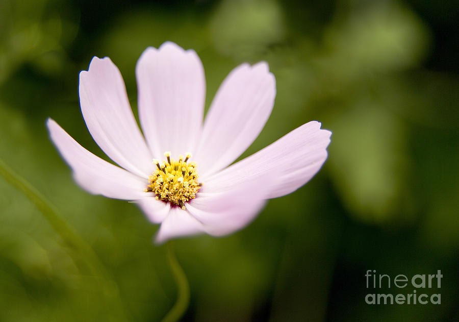 Pink Coreopsis Daisy Photograph