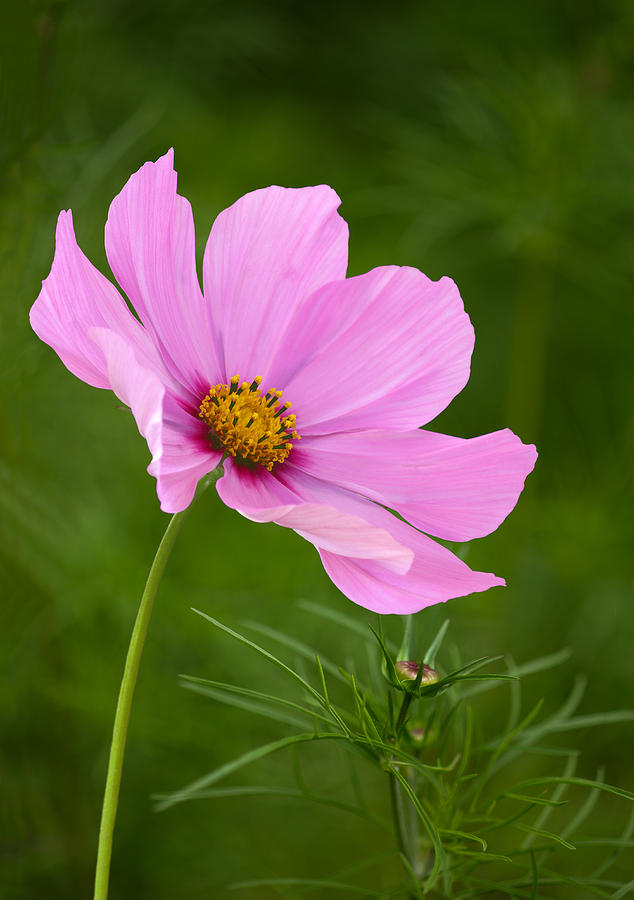 Pink Cosmos Flower In Garden Setting Photograph By