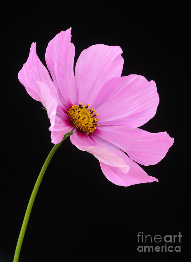 Pink cosmos flower on black background photograph by rosemary calvert cosmos photograph pink cosmos flower on black background by rosemary calvert mightylinksfo