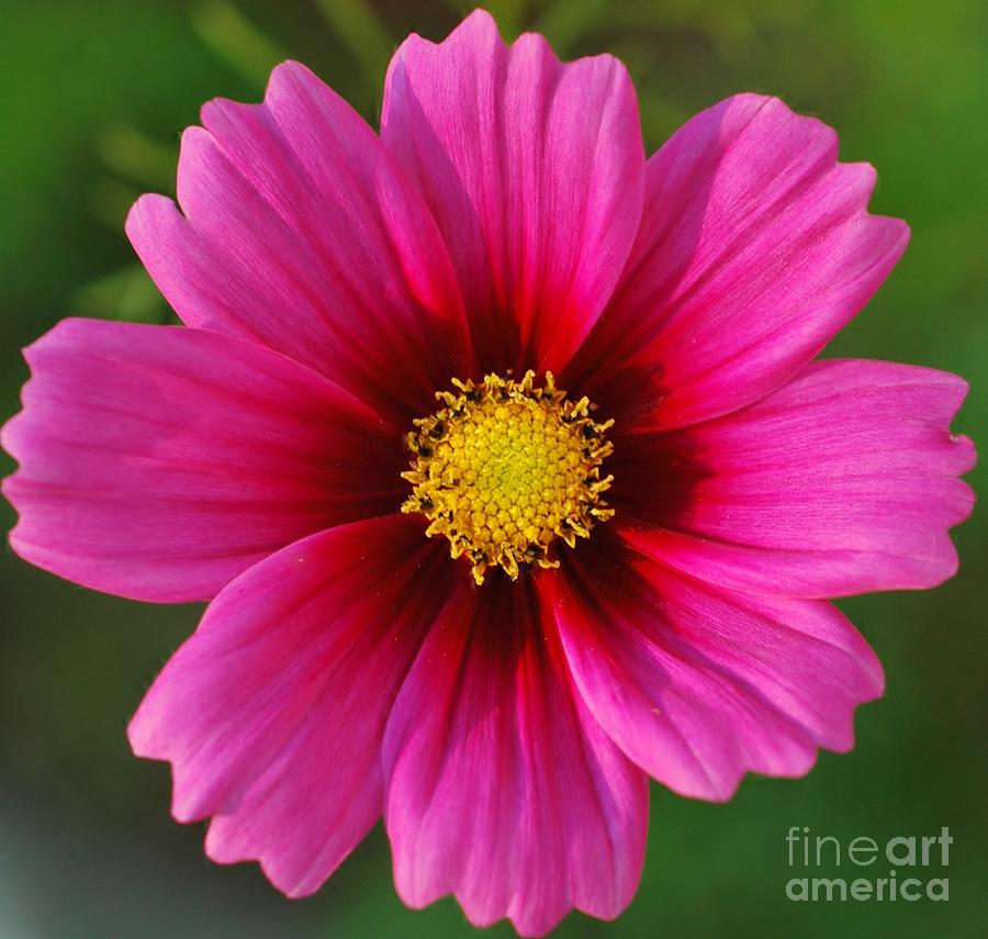 Pink Photograph - Pink Cosmos by Kathleen Struckle
