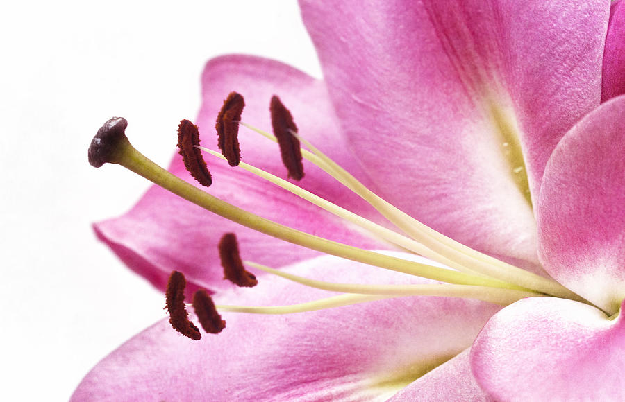 Flower Photograph - Pink Curves by Kim Andelkovic