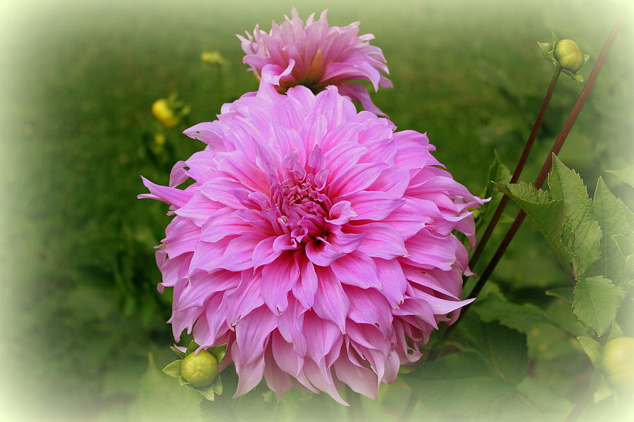 Pink Photograph - Pink Dahlia by Donna Walsh