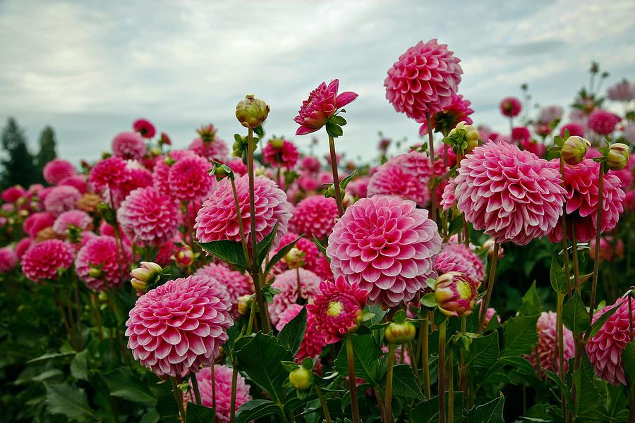 Dahlia Photograph - Pink Dahlia Field by Athena Mckinzie