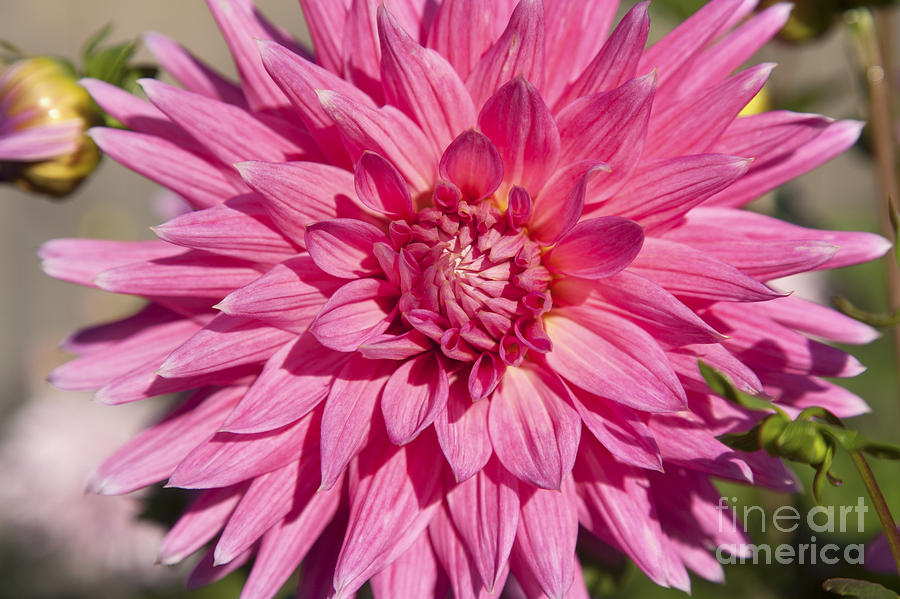 Bloom Photograph - Pink Dahlia II by Peter French