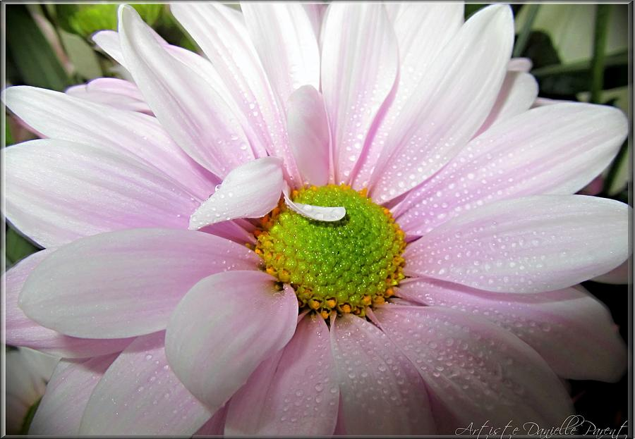 Hamilton Photograph - Pink Daisy Freshness With Water Droplets by Danielle  Parent