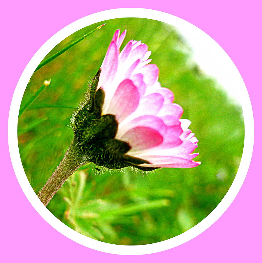 Pink Photograph - Pink Daisy  by The Creative Minds Art and Photography