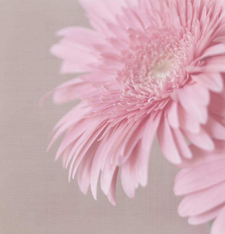 Pink Flower Photograph - Pink Delight by Kim Hojnacki