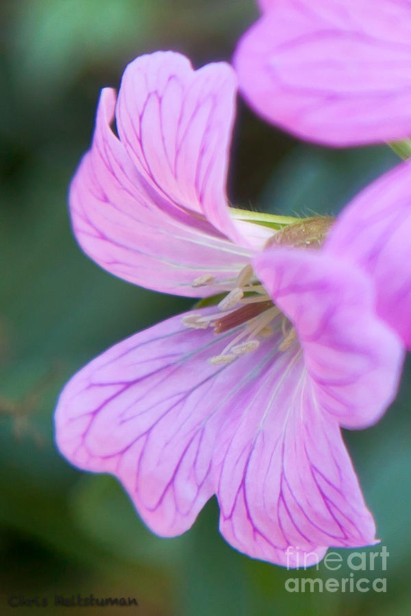 Flower Photograph - Pink Details by Chris Heitstuman