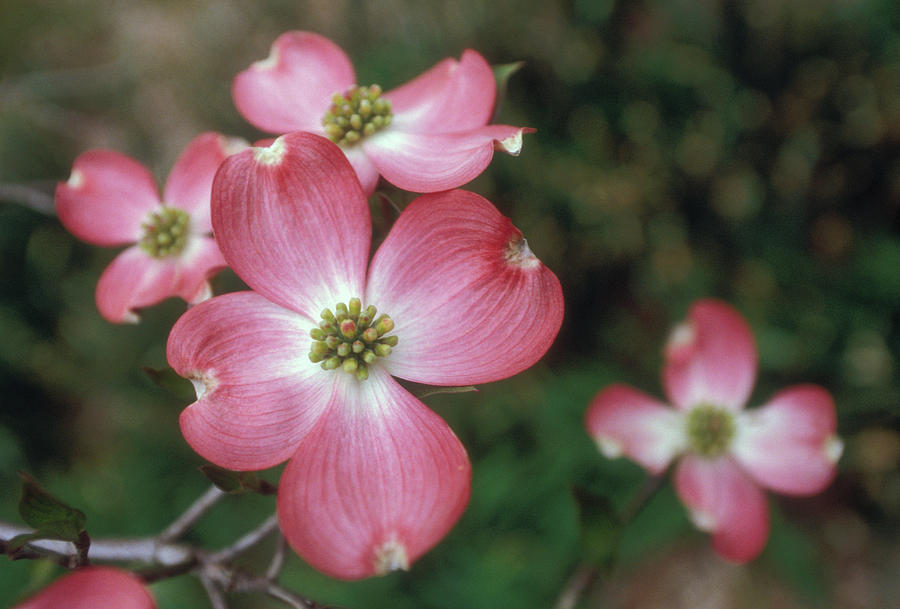 Bloom Photograph - Pink Dogwood Blooms by Anna Miller