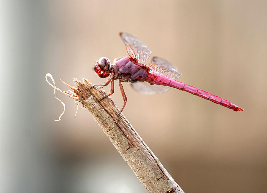 Pink Dragonfly by Sarah Broadmeadow-Thomas