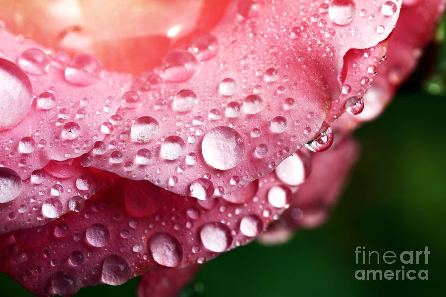 Water Drops Photograph - Pink Drops by John Rizzuto