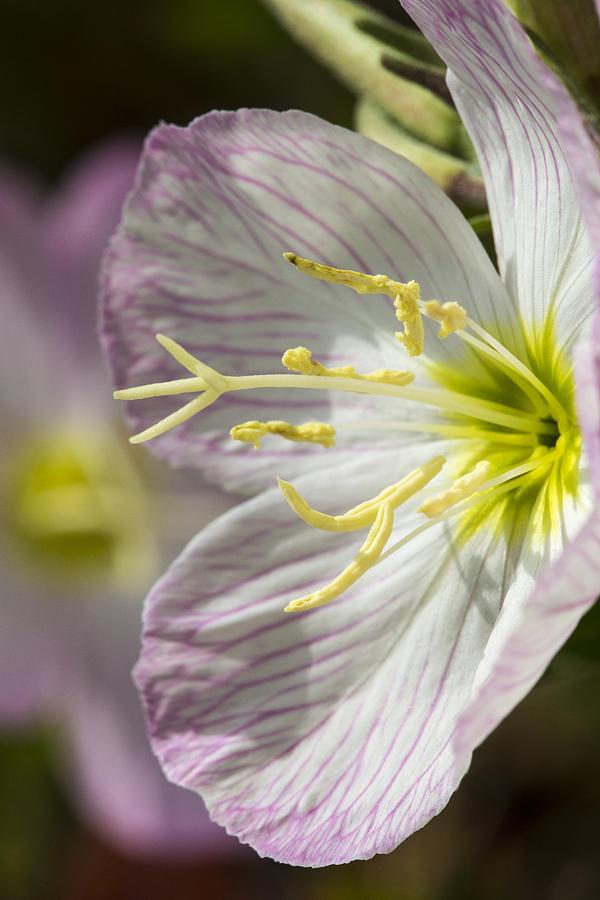 Pink Evening Primrose Flower Photograph By Steven Schwartzman