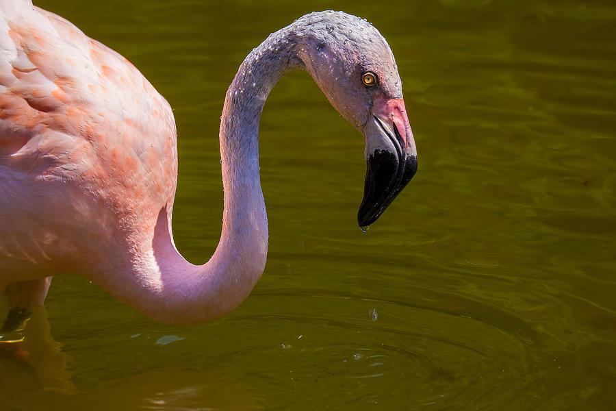 Pink Flamingo Photograph - Pink Flamingo by Garry Gay