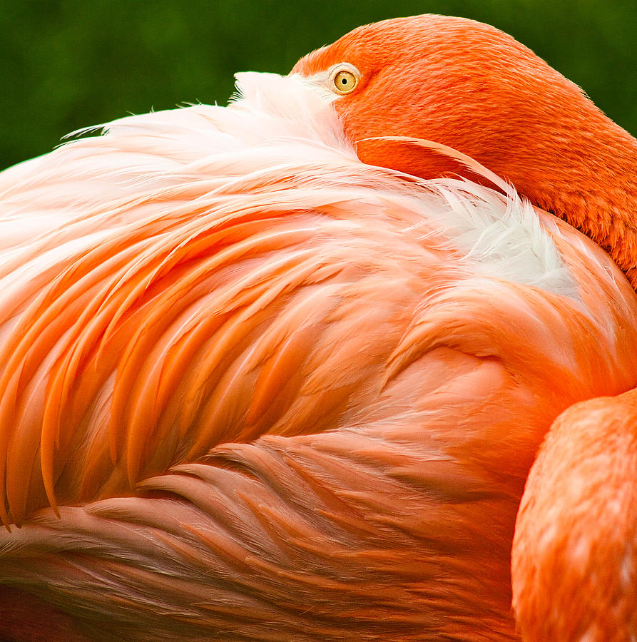 Europe Photograph - Pink Flamingo by Viacheslav Savitskiy