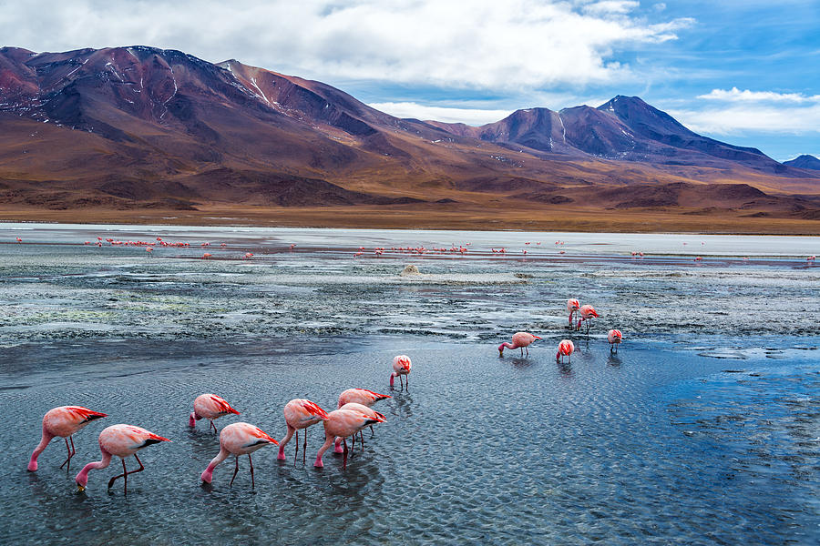 Pink Flamingoes In Bolivia Photograph