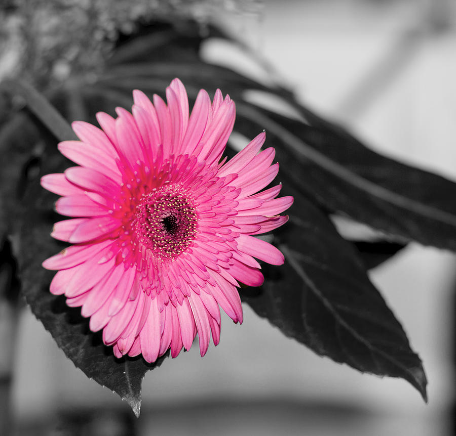 Flower Photograph - Pink Flower by Amr Miqdadi