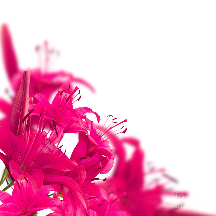 Pink Flower Frames Photograph by Boon Mee