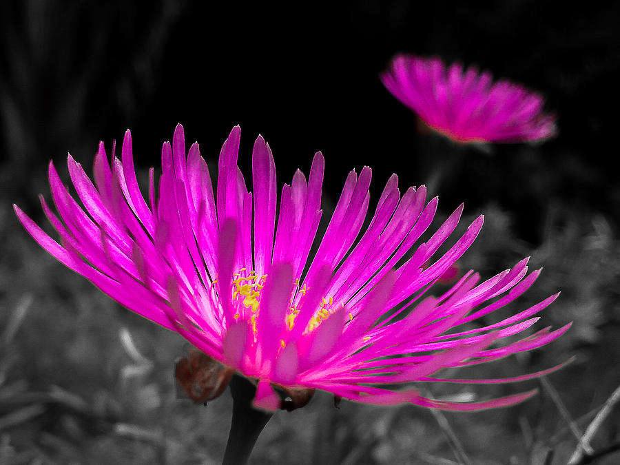 Flower Photograph - Pink Flower In A Green Grass - Splash by Fabio Giannini